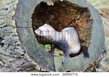 ferret on a tree stump