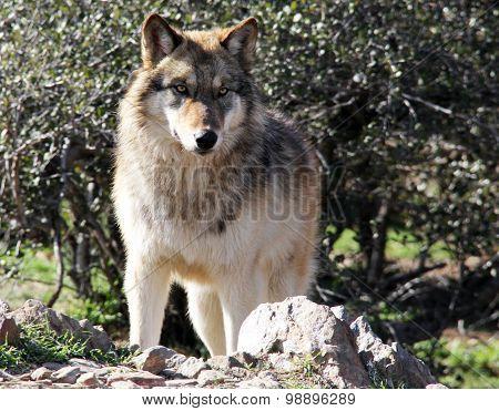 Alsakan Gray Wolf