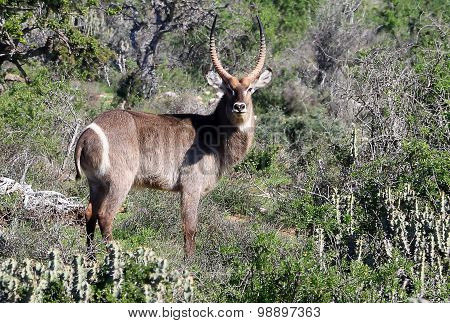 Wild African Waterbuck Stag