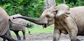 Pursuit. The elephant attacks. The African Forest Elephant (Loxodonta cyclotis) is a forest dwelling elephant of the Congo Basin. poster