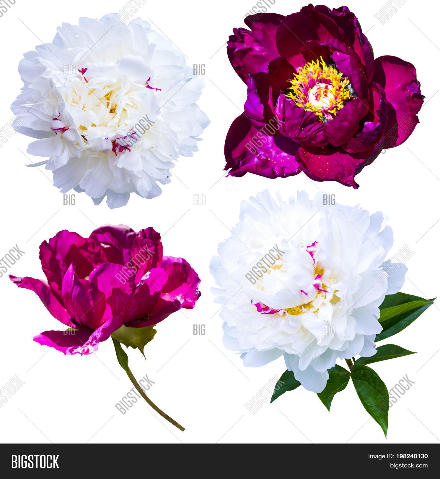 Peonies Isolated On Image Photo Free Trial Bigstock