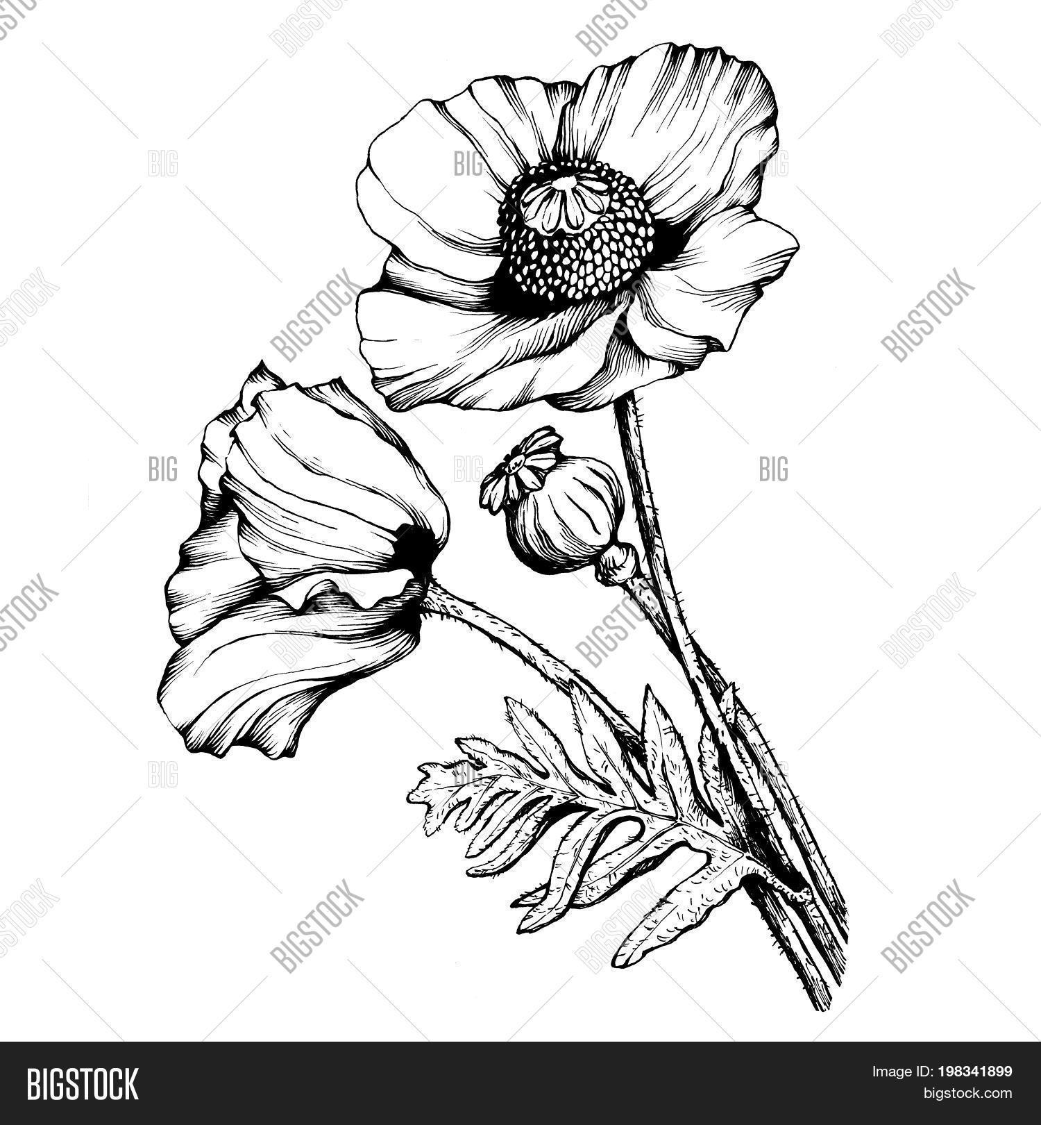 Graphic Branch Poppies Image Photo Free Trial Bigstock