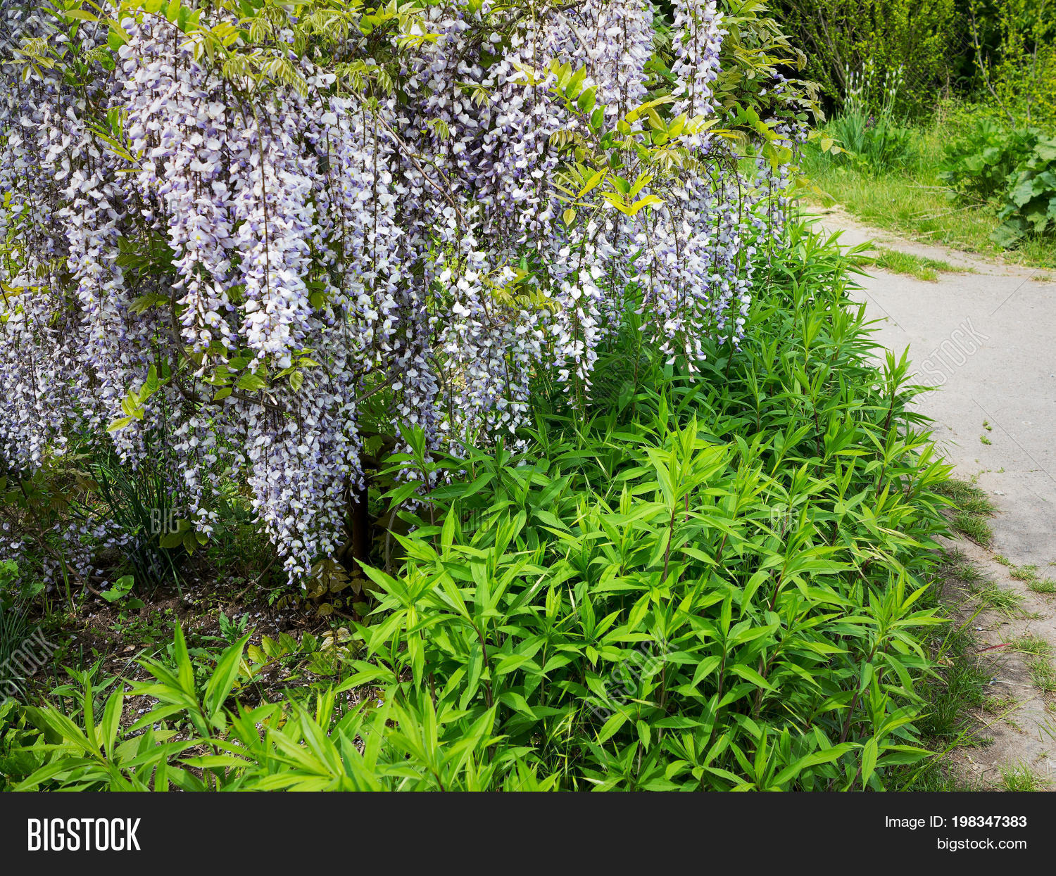 Flowering Wisteria Image & Photo (Free Trial) | Bigstock