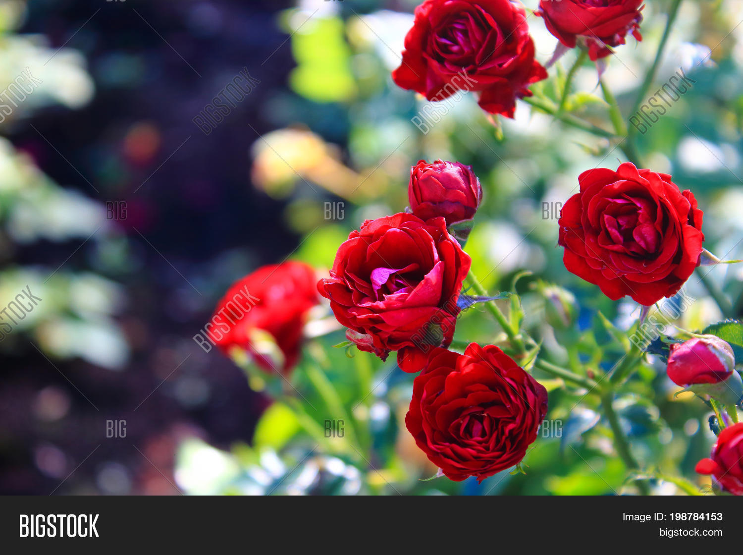 Small Red Roses Garden Image Photo Free Trial Bigstock