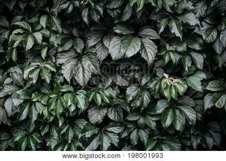 Green leaves background in low key. Green foliage texture, toned