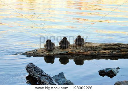 Three ducklings rest together on a rock of the river