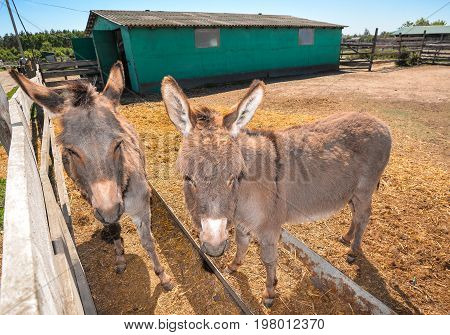 Two funny grey donkey on the donkey farm. Two donkeys looking at the camera.