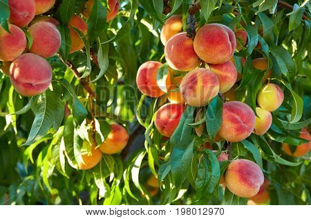 Branch of peach tree in closeup