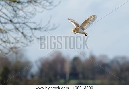 Single Barn Owl (tyto Alba) Flying, In Flight, Hunting Hovering Over  Meadow
