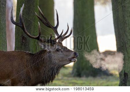 Red Deer Stag (cervus Elaphus) With Breath Showing In Woodland Copse Edge