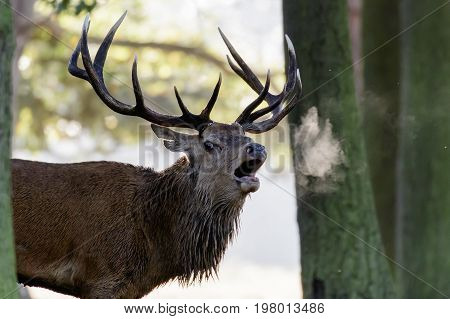 Red Deer Stag (cervus Elaphus) Roaring Or Calling In Early Morning Mist, Showing Breath