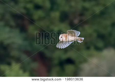 Side View Of A Single Barn Owl (tyto Alba) Flying Across Green Background