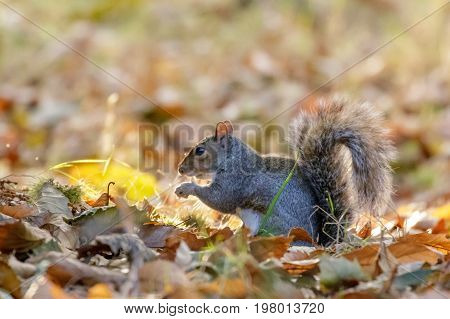 Grey Or Gray Squirrel (sciurus Carolinensis) Foraging For Sweet Chestnuts, In An Autumn Wood