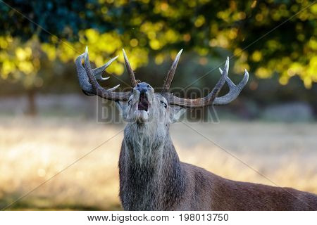 Red Deer Stag Portrait (cervus Elaphus) Roaring Or Calling In Park Woodland