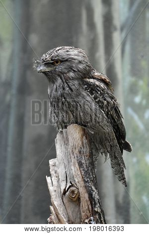Tawny frogmouth bird sitting perched on a tree stump.