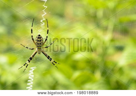 Black and yellow striped spider on the web