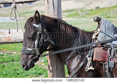Kyrgyz black stallion in harness with a saddle at the hitching post. A saddled horse tied to the fence. Tien Shan Kyrgyzstan