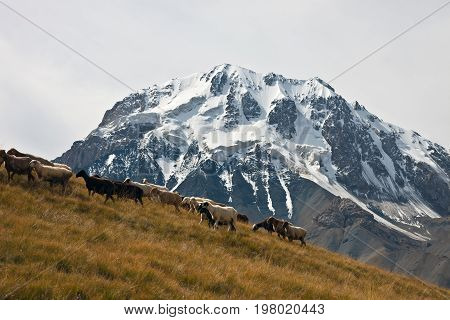 A herd of sheep going to pasture on the background of rocks in Tien-Shan Kyrgyzstan