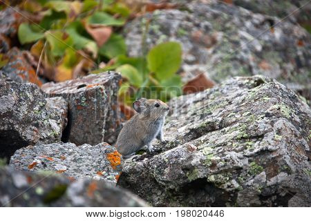 Young pika in the mountains of Tien Shan. A rodent from the family of lagomorphs - pika red fall among the stones. The Issyk-Kul region Kyrgyzstan