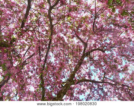 Season specific - Spring - Blooming crab apple tree branches against the sunlight - full frame