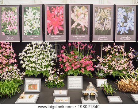 LONDON UK - MAY 25 2017: RHS Chelsea Flower Show 2017. Agapanthus and Nerine bowdenii display.