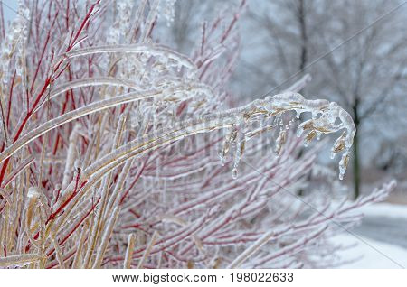 Winter background: Ice frozen tree branches in winter. Whitby Ontario Canada.