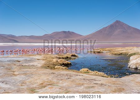 Flamingo by a lake, wildlife Altiplano Bolivia South America