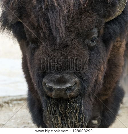 A closeup of the head of an American bison (American buffalo or simply buffalo)