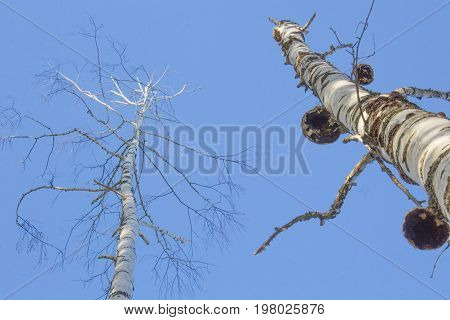 Naked Birch Trees looking up under Blue sky