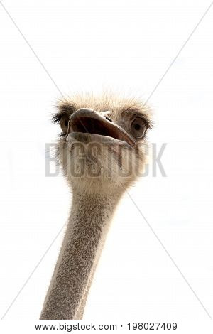image of ostriches isolated on white background