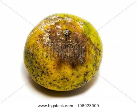 Rotten fruit. The bark of orange is black and brown with fungus.