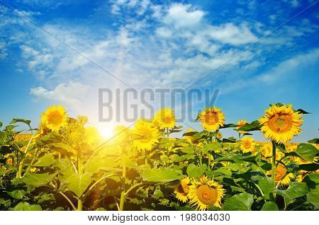 blossoming field of sunflowers and sun rise