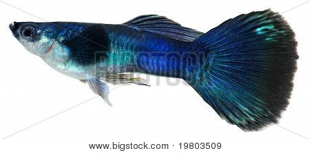 Dark Blue Guppy Fish. Poecilia Reticulata