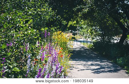 Small rural street with tall trees and grass in the morning sun. Close up of rosebush, climbing rose with pink flowers, yellow flowers border in blur background.