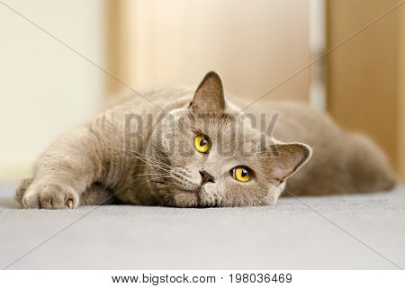 A close-up view of a British cat with yellow eyes lying on a blue carpet in the interior of the apartment
