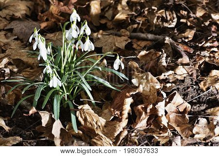 Snowdrops (galanthus Nivalis) In A Floodplain Forest