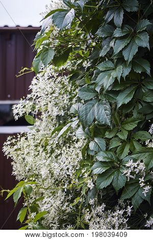 Partenocissus tricuspidata and clematis virgin's bower white bossom and green leaves