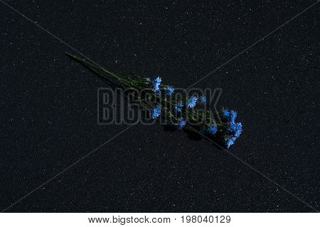 Medicinal plant Centaurea cyanu isolated on a black shiny background