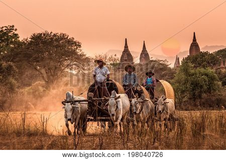 BAGAN MYANMAR - March 10 2016 : Undefined Burmese rural transportation with two white oxen pulling wooden cart on dusty road on the Bagan pagodas field background on March 10 2016 in BaganMyanmar.