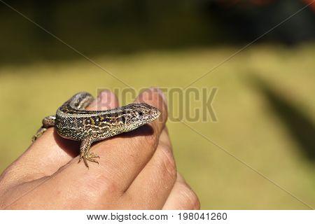 lizard sitting on a palm close up