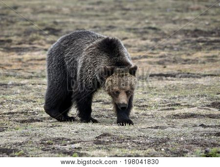 a grizzly walks toward the camera in a meadow.