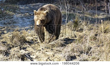 Brown Bear In The Forest. Big Brown Bear. Ursus Arctos.