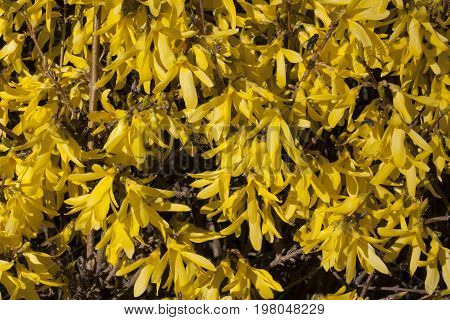 Yellow flowers Forsythia on the bush texture photo in spring