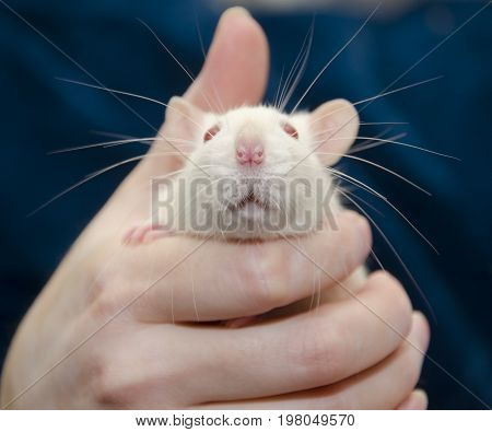 Cute white laboratory rat in a human hand (selective focus on the rat nose)