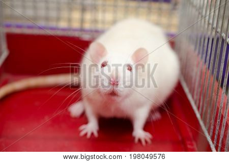 White laboratory rat sitting in a cage shallow DOF with selective focus on the rat nose