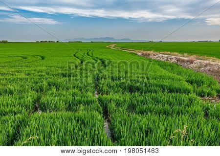 Huge horchata plantation with tractor wheel ruts in Albufera, Valencia