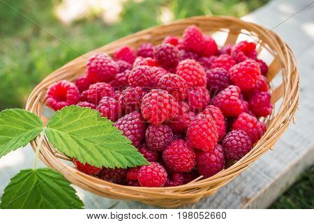 Raspberry basket, raspberry bush branch, growing raspberries