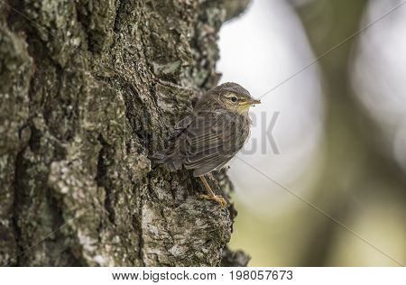 Willow Warbler Juvenile Perched On A Tree Trunk, Close Up