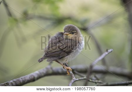 Willow Warbler Juvenile Perched On A Branch, Close Up