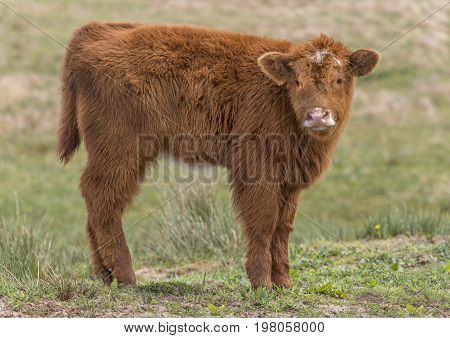 Highland Cow Juvenile, In A Field, Close Up